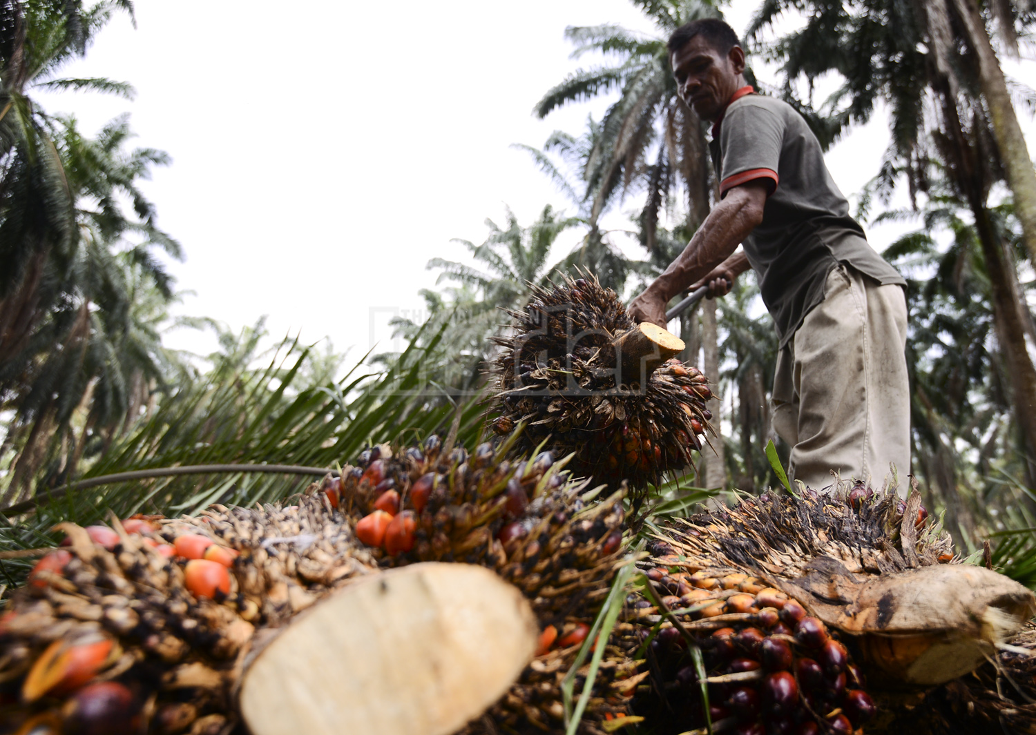 Independent smallholders will use all available help, including family members, in running an oil palm plantation. – The Malaysian Insider file pic, December 3, 2014.