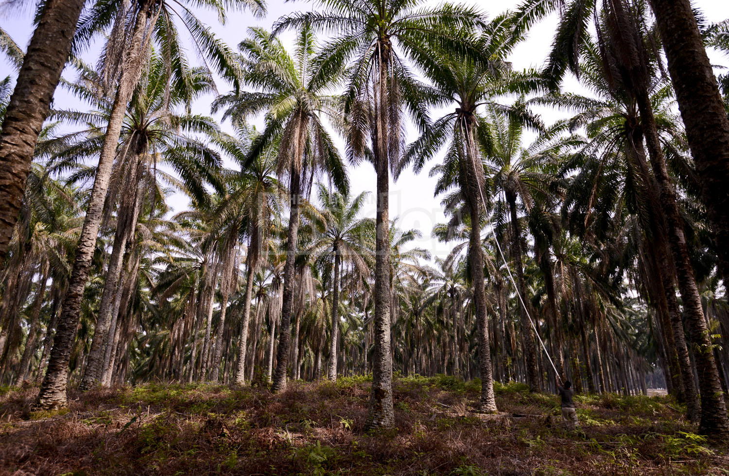 The Malaysian palm oil industry joins the United States Department of Labour's list of goods made with child labour. – The Malaysian Insider file pic, December 2, 2014.